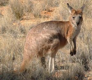 Hill_kangaroo