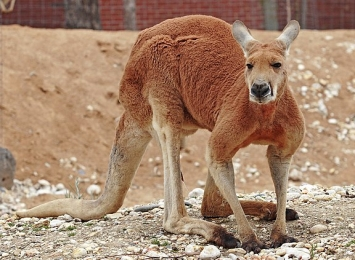 Plains_kangaroo